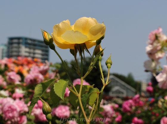 バターカップは黄色いバラです