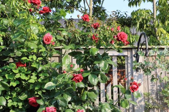 チョコレートサンデー バラ苗-赤茶色の中輪花で丸みのある抱え咲き|イパネマおやじ | バラのつるバラ系統 ...