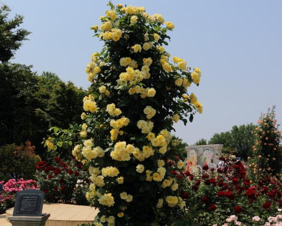 つるスマイリー・フェイスは返り咲き品種です
