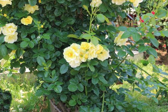 つるスマイリー・フェイスの花径は大輪サイズ