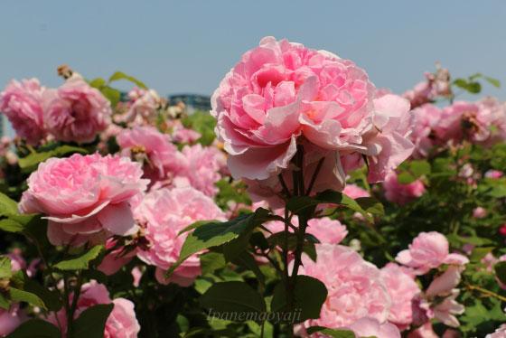 コテージ・ローズは四季咲き性