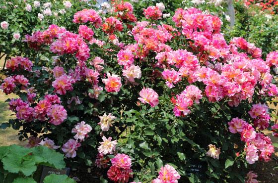 エドガー・ドガの花径は大輪サイズ