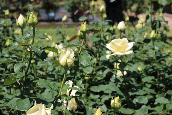 エリナは大輪のバラです
