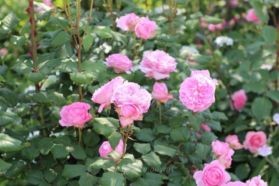 エロディ・ゴシュインは四季咲き