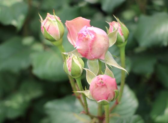 エロディ ゴシュインはフルーツ系の芳香があるバラ