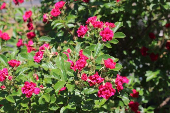 エフ・ジェイ・グルーテンドルストはカーネーションのような花形です