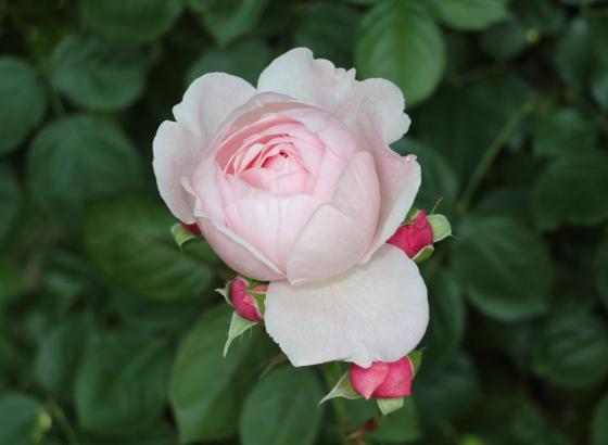 ジェフ・ハミルトンの花形はディープカップ咲き