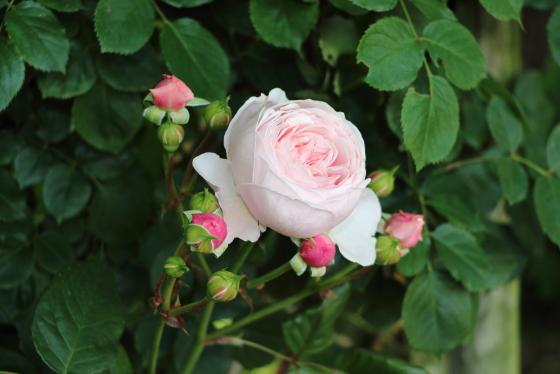 ジェフ・ハミルトンの花径は約8cmの中輪花