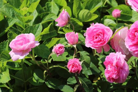 ガートルード ジェキルはロゼット咲き