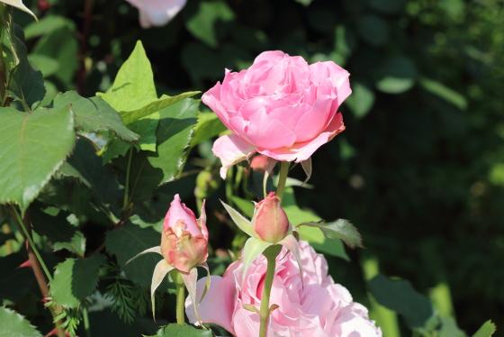 ガートルード ジェキルは花径10cmの大輪花