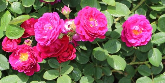 ジプシーボーイは一季咲きです