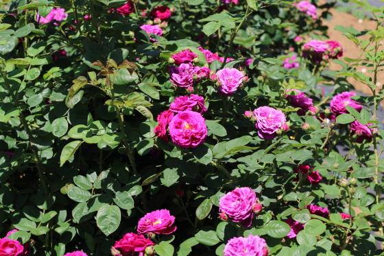 ジプシー・ボーイの花径は7cmほどの中輪花