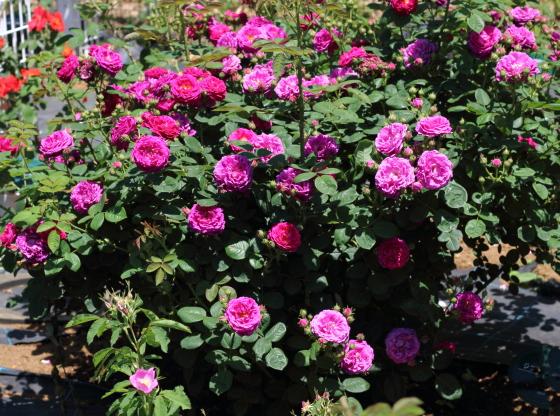 ジプシー・ボーイは一季咲きです