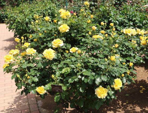 ゴールド・バニーの花径は約8cmの中輪花