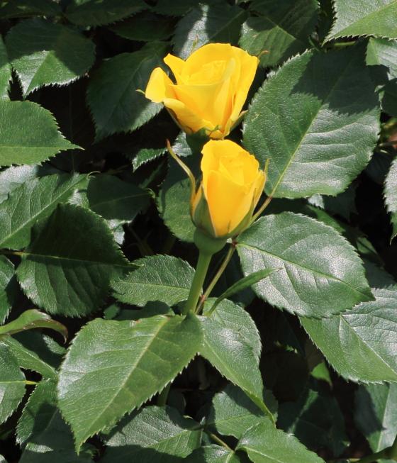 ゴールド・バニーは四季咲き性です