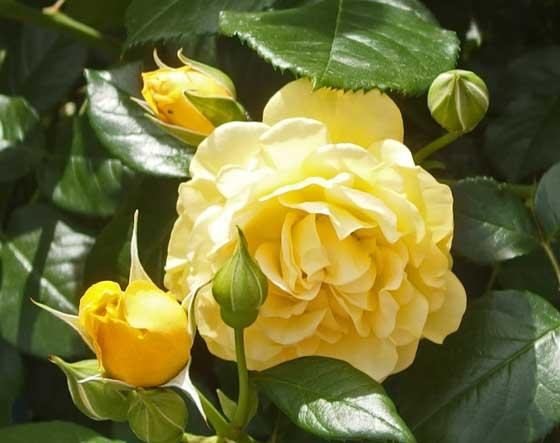 ゴールデンフラッシュは四季咲き性