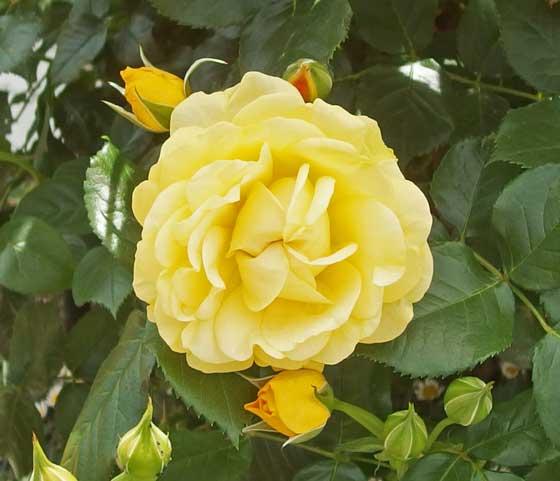 ゴールデンフラッシュは黄色いバラです