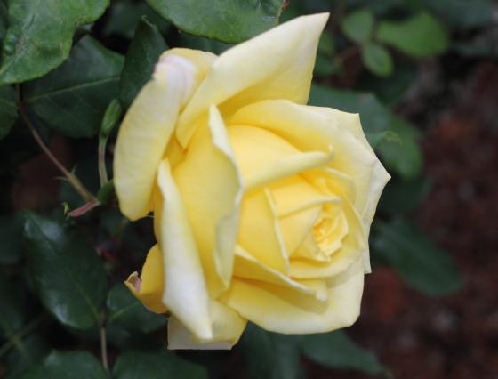 ゴールデン・ハートは剣弁高芯咲きです