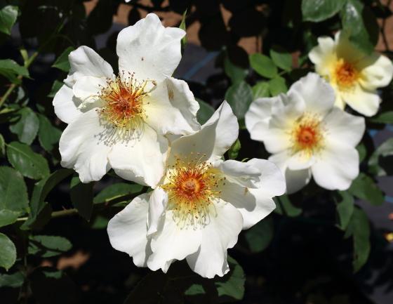 ゴールデン・ウィングスは丸弁の一重咲きです