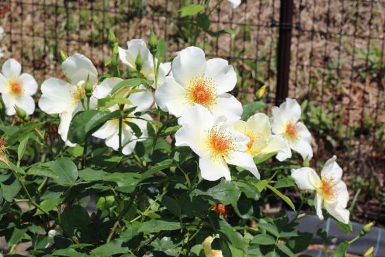 ゴールデン・ウィングスは大輪花です