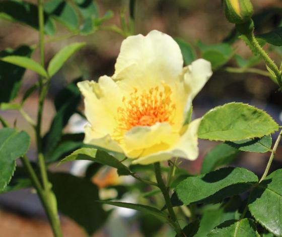 ゴールデン・ウィングスは黄色の一重咲きです