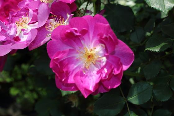 インターナショナル・ヘラルド・トリビューン 薔薇