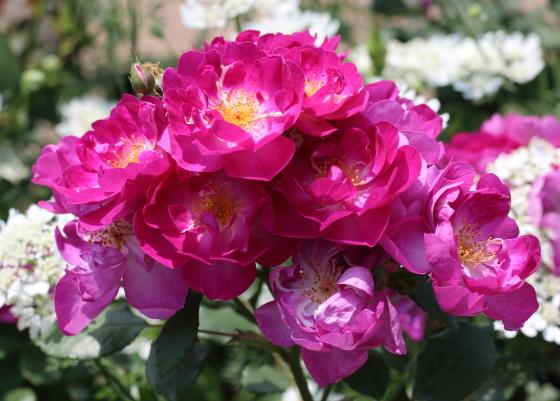 インターナショナル ヘラルド トリビューンは花もちがよくないバラ