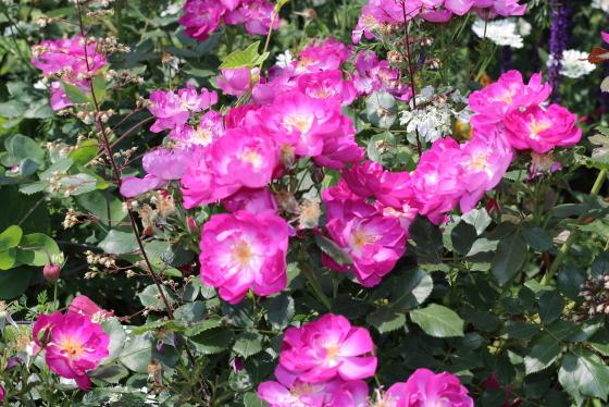 中輪の房咲きで花つきがよい品種