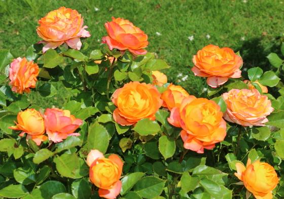 ベビーロマンティカは四季咲き