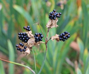 花後に果実をつけ、秋に熟してはじけると黒いタネが出てくる