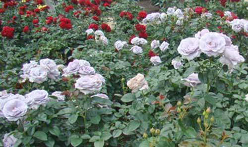 ブルー系のバラ