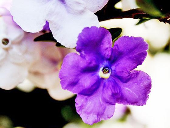 ナス科の花木です
