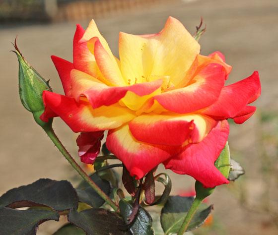 複色の花色