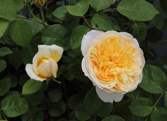 カップ咲きからロゼット咲きに変わる