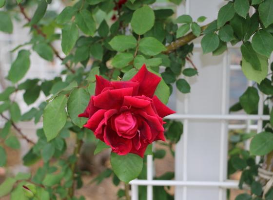数輪の房咲きになり多くの花を咲かせます