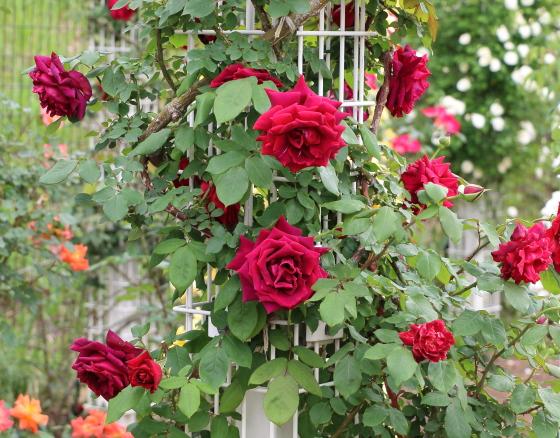 濃赤色の花弁はベルベットのような光沢がある