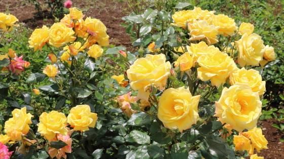 ドクターファウストは四季咲き性