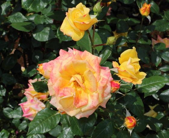 半剣弁高芯咲きの黄バラ