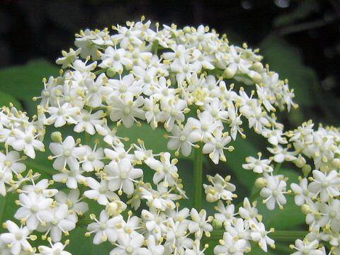 エルダーは開花期が5~6月