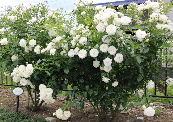 とても花つきがよいバラ