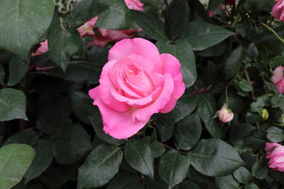 丸弁高芯咲きの大輪サイズのバラ