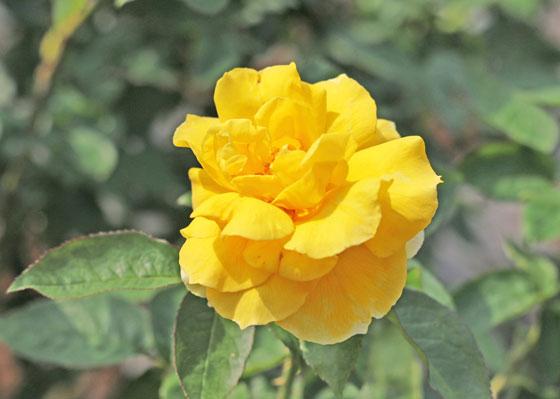 ジーナロロブリジーダの花形は半剣弁高芯咲きです