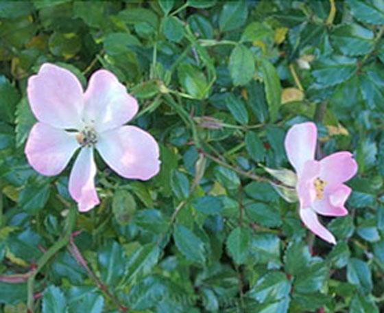 ひなあられはピンク色のバラ