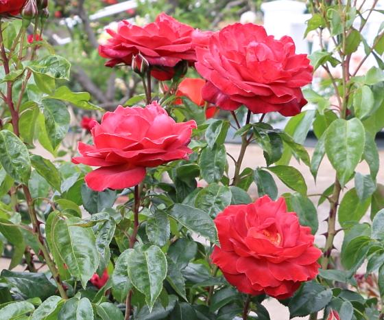 茶色系のバラ