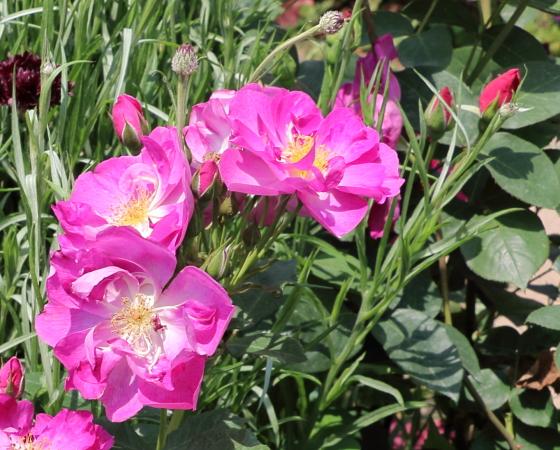 花形は半八重平咲きです