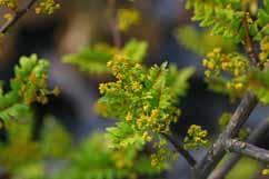 サンショウはミカン科の落葉樹