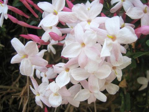 ハゴロモジャスミンはつる性常緑低木