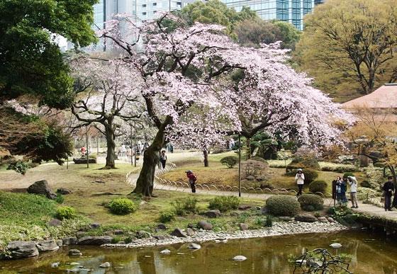 後楽園の桜が咲いている風景