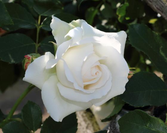 コスモスはフロリバンダ系統のバラです