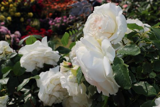 コスモスは純白のロゼット咲きになる